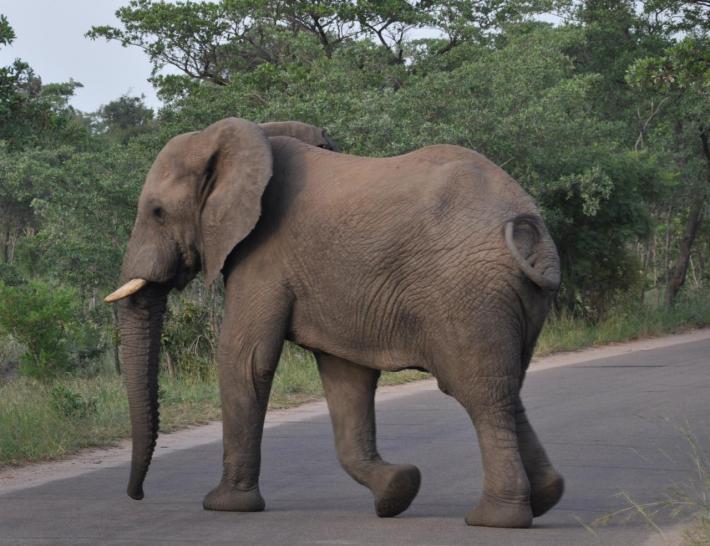 Eléphant du Parc Kruger