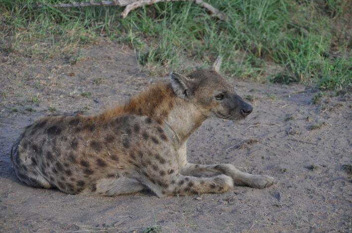 Une hyène