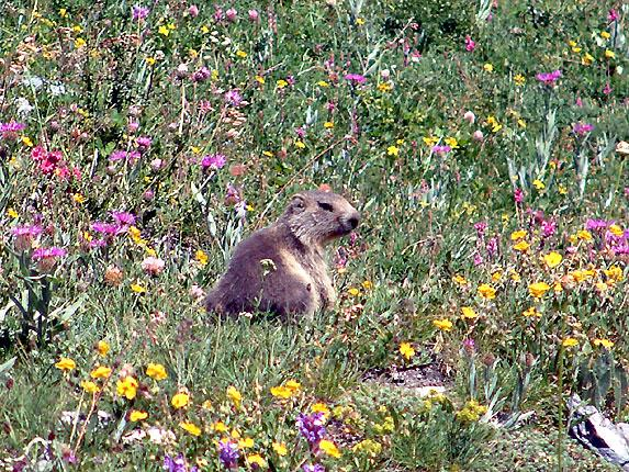 Au pays des Marmottes