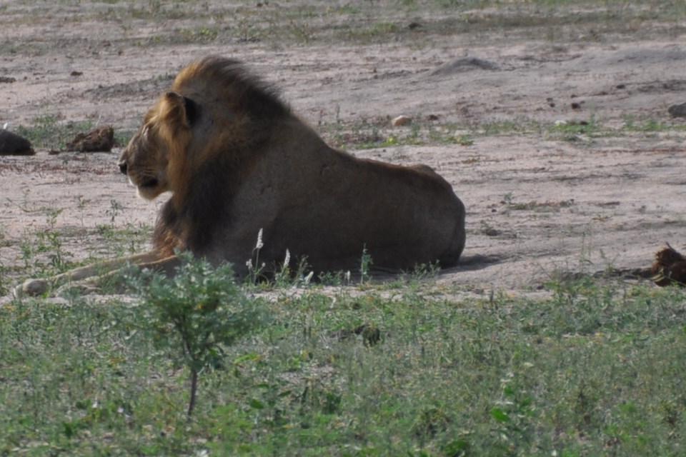 Lion du Parc Kruger