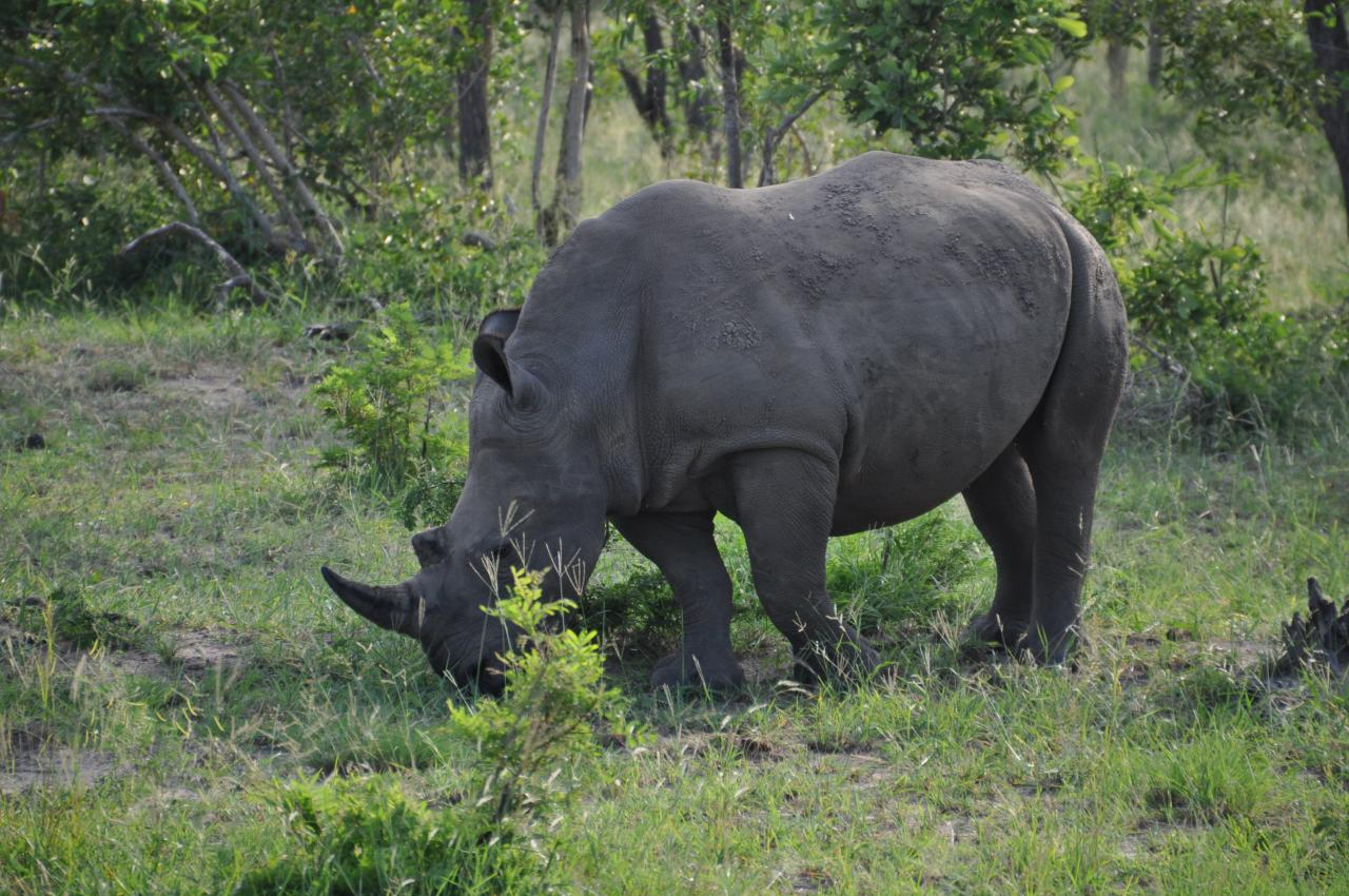 Rhinocéros du Parc Kruger