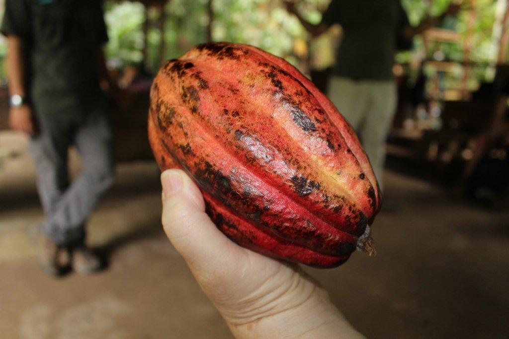Cabosse du cacaoyer