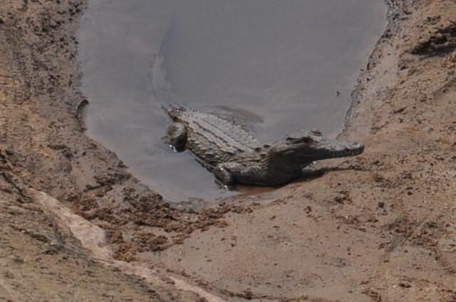 Crocodile dans la rivière Kruger