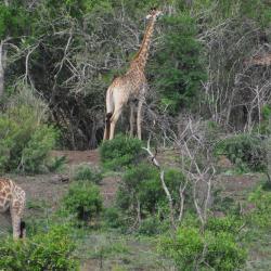 Le repas des girafes