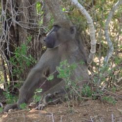 Baboin du Parc Kruger