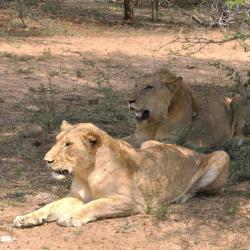 Lion et lionne cherchant l'ombre