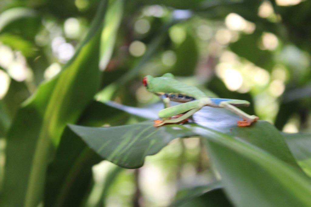 Une grenouille multicolore