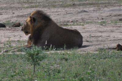 Meurisse lion