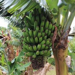 Régime de banane